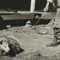 Young Possum under Leash, C...