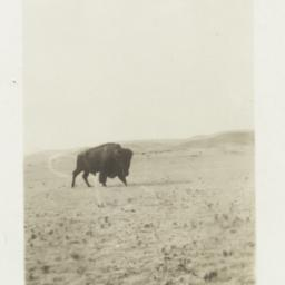 Buffalo on a Field